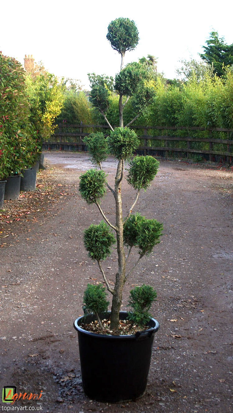 Cupressus archives bespoke topiary plant sculptures for Ligustrum pompon