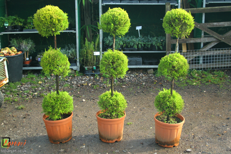 Cones archives bespoke topiary plant sculptures for Ligustrum pompon