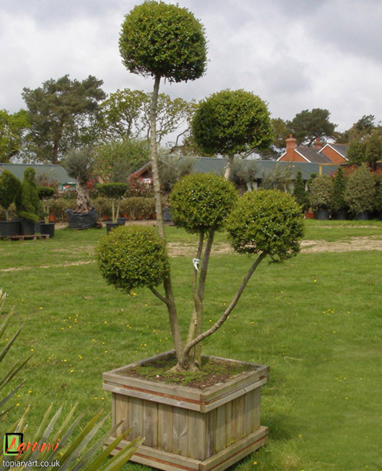 Cupressus Archives - Bespoke topiary plant sculptures