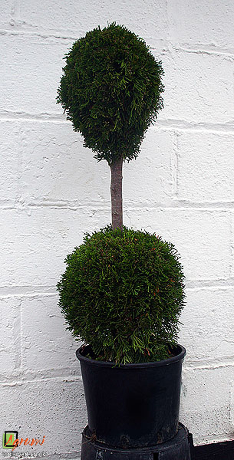 Classic topiary shapes bespoke topiary plant sculptures for Ligustrum pompon