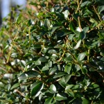 Our Favourite: Ligustrum delavayanum