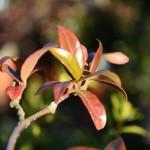 Trachelospermum jasminoides (Star Jasmine)